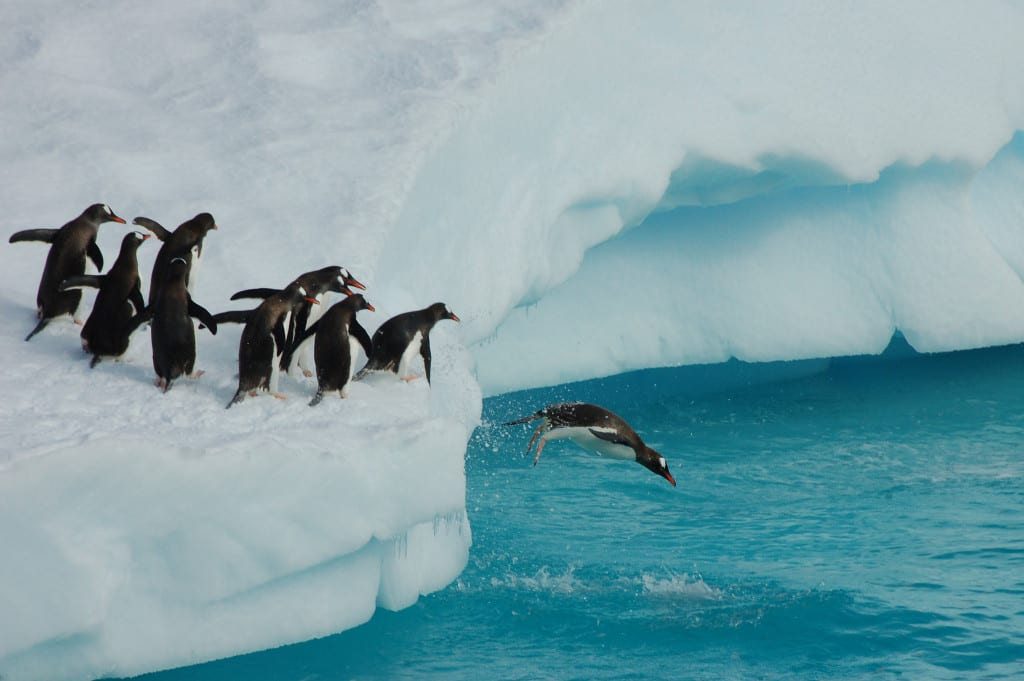 Penguins-queued-up-take-turns-diving-frozen-water