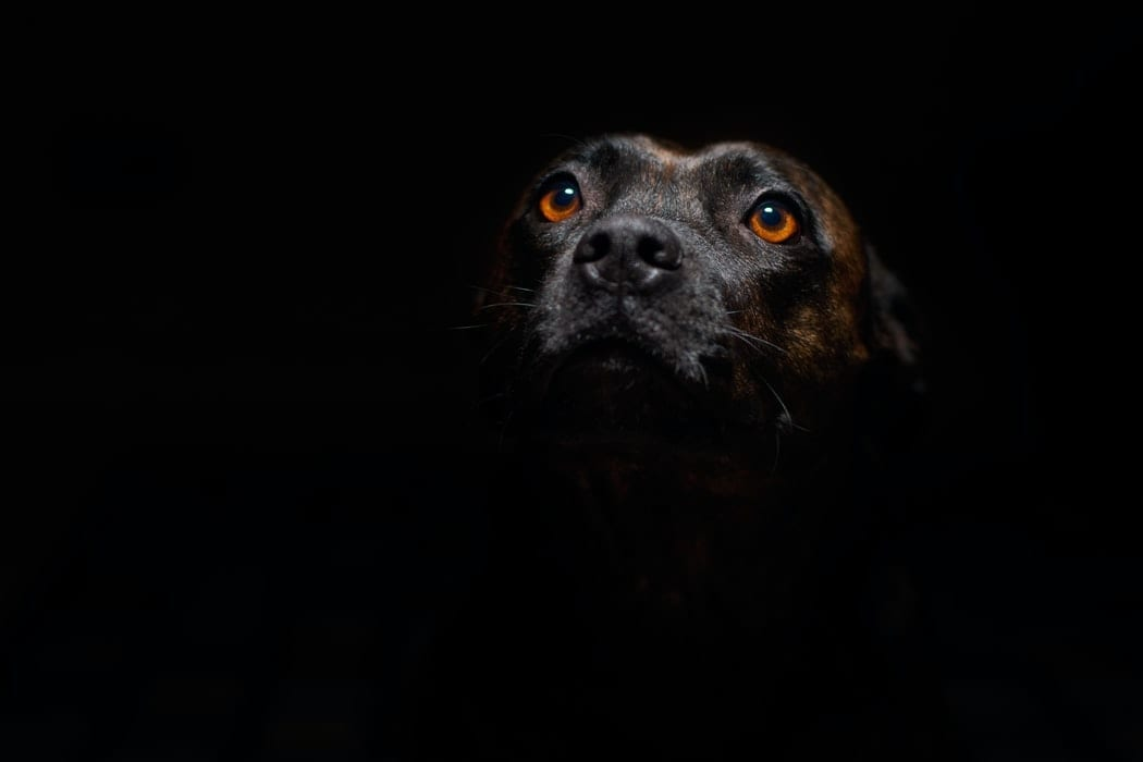 man's best friend staffordshire bull terrier staffy