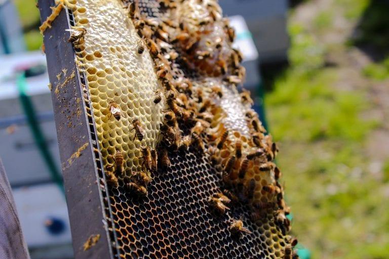 Bee-trayal: 'Emergency' Authorisation Of Neonicotinoid Thiamethoxam Bad News For Bees