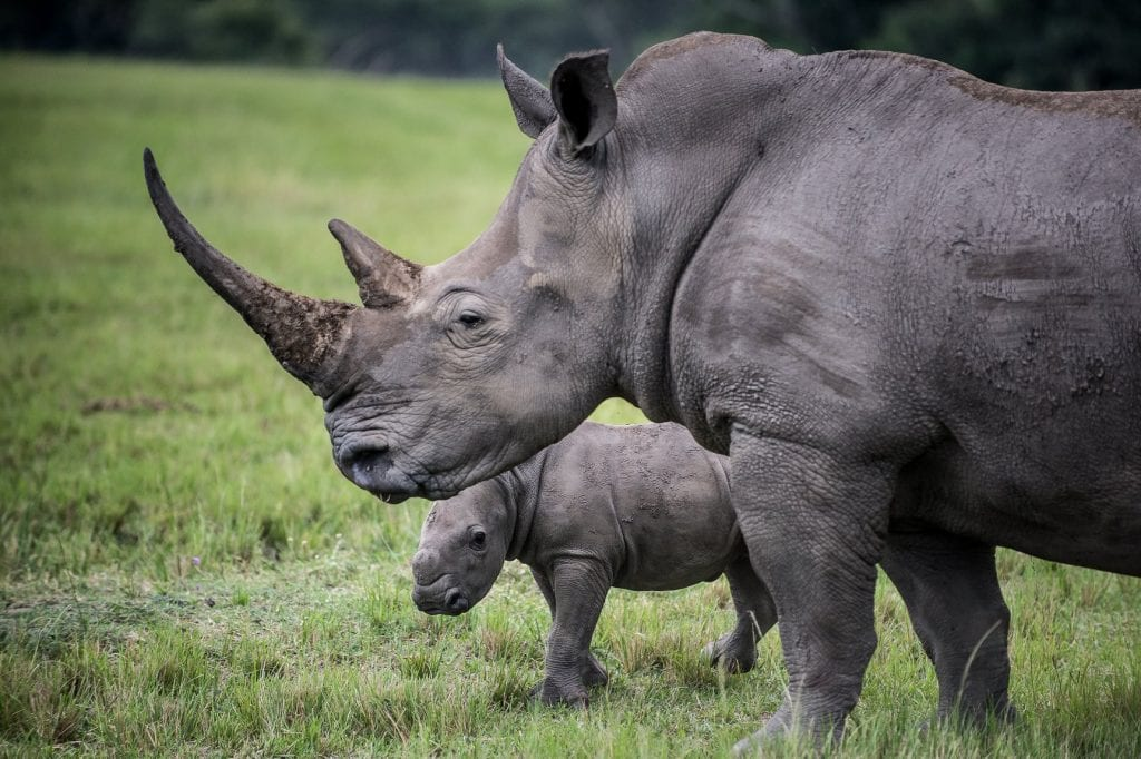 Two rhinos, an adult and a calf, standing on green grassland at Karkloof Valley Reserve. (Image: Peter Meyer/Goho Ltd)